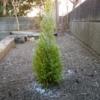 2019.1.11植樹したゴールドクレストの新樹