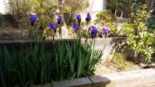 平成31年4月21日の庭の菖蒲