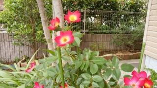 令和元年6月1日,庭のバラがきれいに咲いた