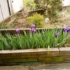 2020年4月21日:庭の菖蒲